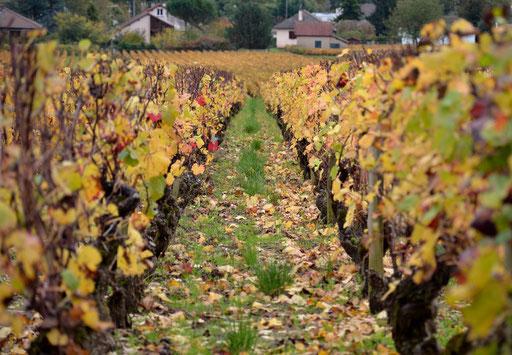 Vineyards of Côte de Beaune in autumn