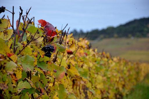Pinot Noir grapes Beaune