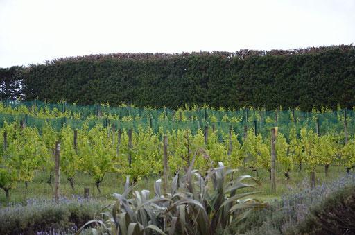 Mudbrick vineyard, Waiheke Island
