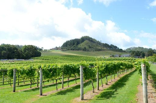 Mercury Bay vineyard, Coromandel
