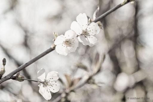 Kirschblüte.........