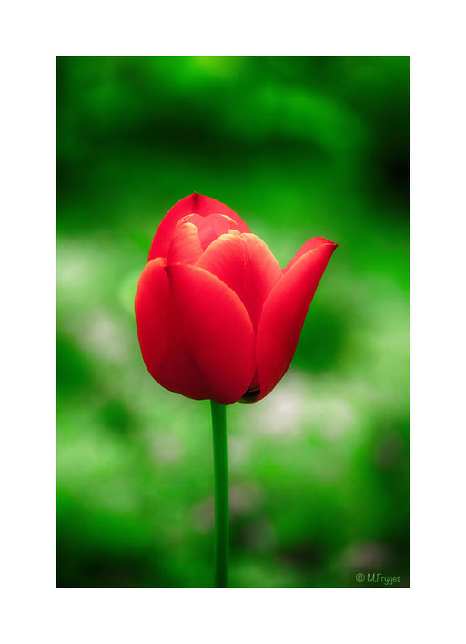 Rote Tulpe.........