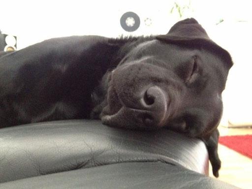 Foto: Alex LXG Ganz, Köln - Labrador Bruno auf dem Sofa