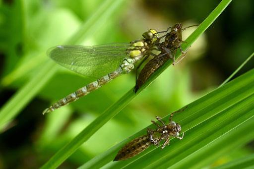 Libelle - frisch geschlüpft