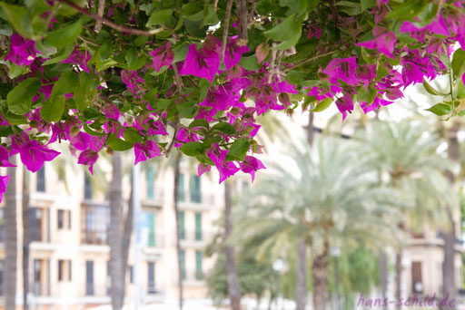 Bougainvillea in Palma