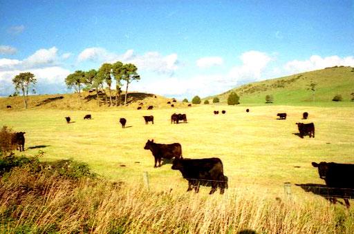 auch die Rinderzucht wird in New Zealand extensiv betrieben