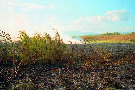 nach der Ernte wurde die Felder durch abbrennen neu gedüngt
