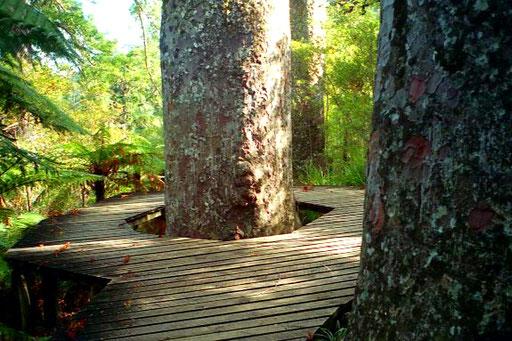 ein geschützter Kauri-Baum - im 19. Jhd. fast völlig abgeholzt