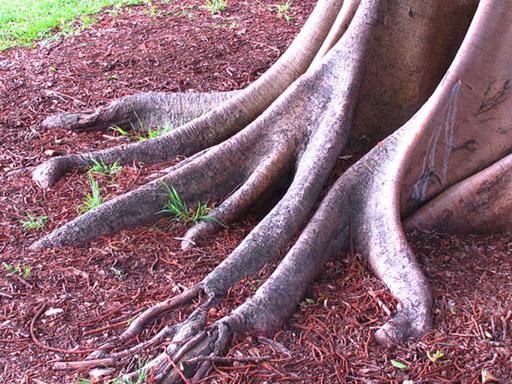 die knochigen Wurzeln fast wie Zehen von Riesen-Dinos