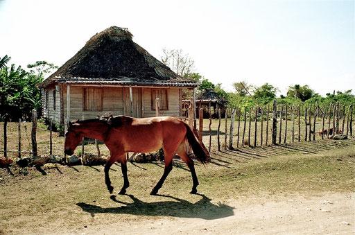 gezüchtet wurden hier die schnell Kuba-Pferde
