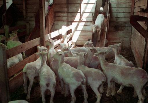 nach der Schur schauen die Schafe arm aus