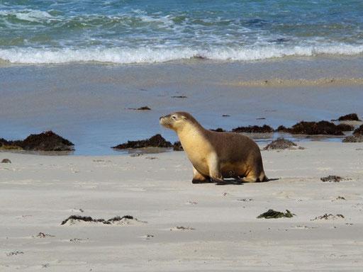 eine Seelöen-Dame präsentiert sich für das ein Einzel-Photo