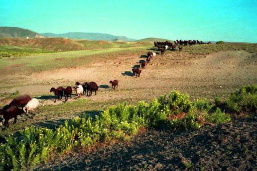 in Zweier-Reihen marschierten die Herden dem heimatlichen Pferch entgegen