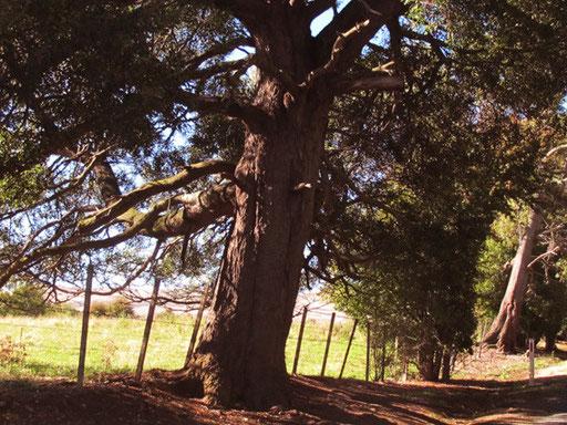 alte Bäume sind nur in den National-Parks zu sehen