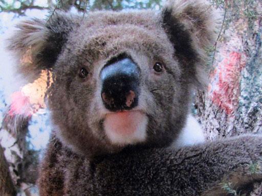 der Koala-bär hat wirklich ein lustiges Gesicht