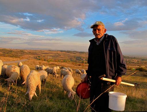 eine Schafherde auf dem Heimweg bei Berhida