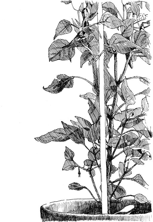 Tobias; Willa; Illustration; Basel; Fineliner; Mont Blanc; Mystery Black; Wayne; Pfeffer; Poivre; Piment; Chili; Plante; Feuilles; Pflanze; Blätter; Biologie; Botanik; Topf; Tuteur; Cayenne