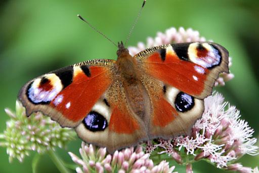 Schmetterling am Haus