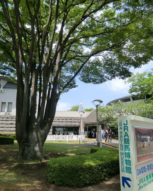 5月3日(2014) ケヤキの木と博物館:JRA競馬博物館(府中市)