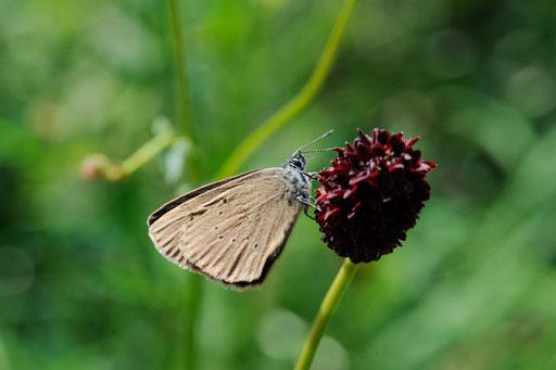 Ameisenbläuling auf Blüte von Dunklem Wiesenknopf           Foto: W M-R