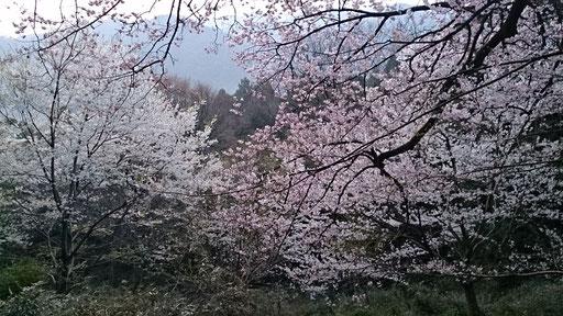 世間桜 隠岐の島 2014
