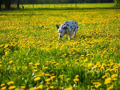 Hund rennt auf Wiese aus Löwenzahn