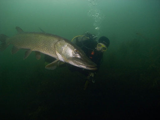 Riesenhecht im Glienicker See 2011