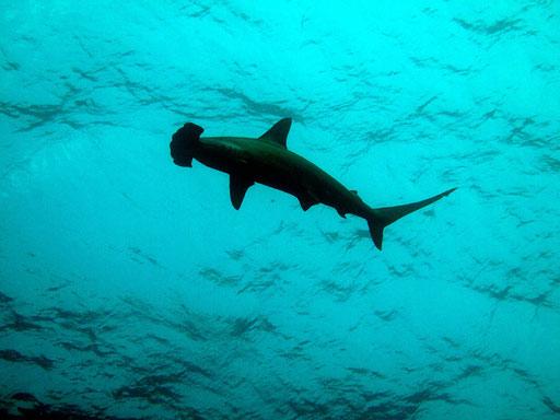 Hammerhai am Daedalus Reef