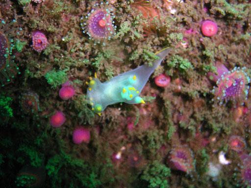 Polycera faeroensis, Bretagne