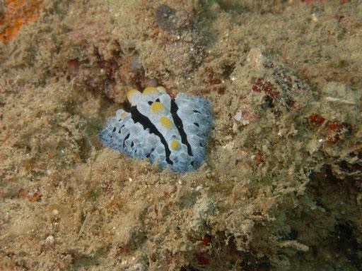 phyllidia coelestis