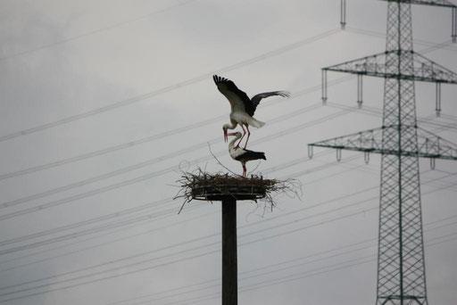 Paarung von Coco und Libi in Hachborn auf dem Nest - Foto: Miriam Wagner
