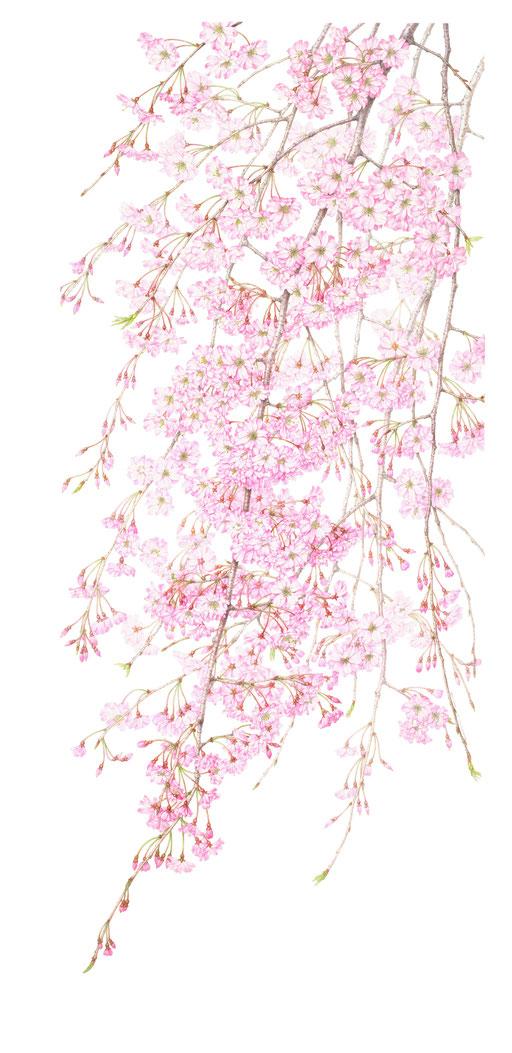 ヤエベニシダレ〈八重紅枝垂〉 Cerasuus spachiana' Plena Rosea'   870×420 mm