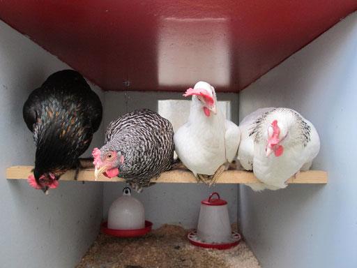 chicks on speed, wache augen - tiefe blicke, nutztiertournée 2011-2012