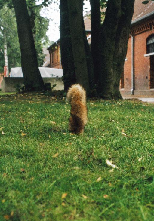Fuchs, wedelt in Intervallen, Reiterkasernen, Münster 2001
