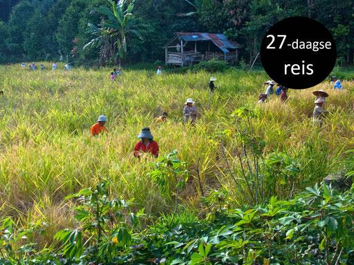 Vriendelijke bevolking aan het werk in een rijstveld op Sulawesi