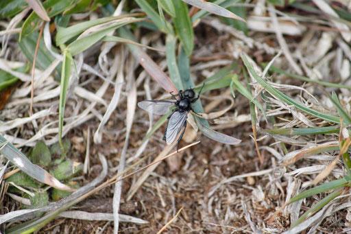 Rouwvlieg (Bibionidae)