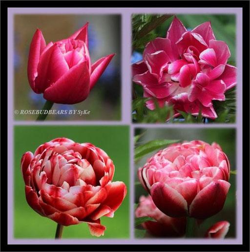 Tulpen wie Pfingstrosen - oben: nach Jahren wieder aufgetaucht 'Gerbrand Kieft'- unten: Fluwels 'Drumline'
