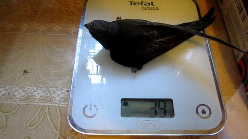 Стрижонок Птерик в возрасте 42 дня