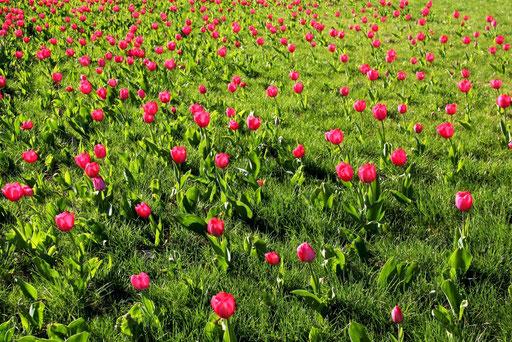 TulipMarch