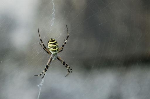DSC_9279_Argiope bruennichi-(Argiope frelon/argiope rayée/argiope fasciée/épeire fasciée)-Araneidae.