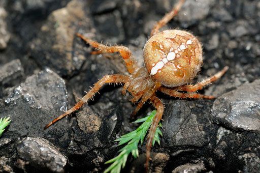 DSC8759_Epeire petite bouteille-Mangora acalypha-Araneidae