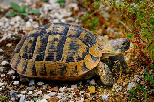 _DSC4329_Tortue d'Hermann-Testudo hermanni-Testudinidae