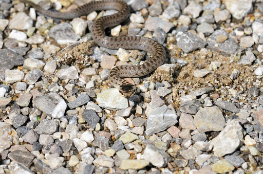 _DSC8767_Coronelle lisse-Coronella austriaca-Smooth Snake