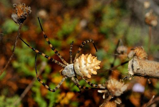 _DSC7100-Argiope lobée-Argiope lobata-Araneidae-Bonifacio