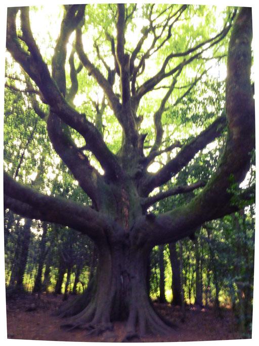 Le hêtre du voyageur Forêt de Brocéliande