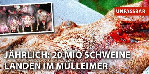 Bild von geqäulten Schweinen. Überschrift: Jährlich: 20 Millionen Schweine landen im Müllheimer