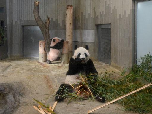 シンシンとシャンシャン〜上野動物園のジャイアントパンダ情報サイトより〜