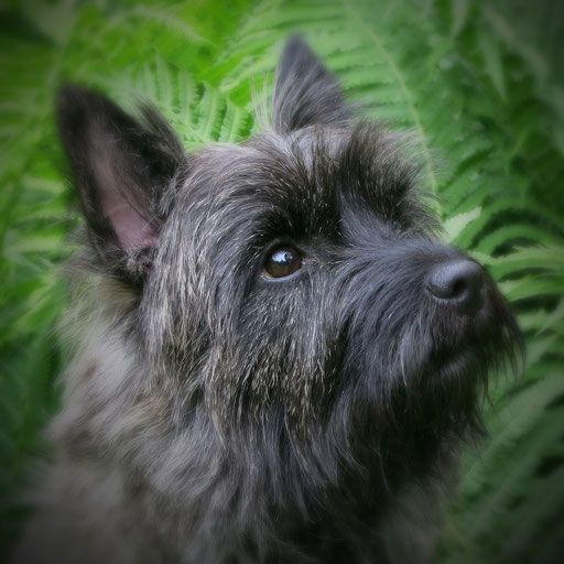 cairn,terrier,fisternölls,hund,robust,welpen,