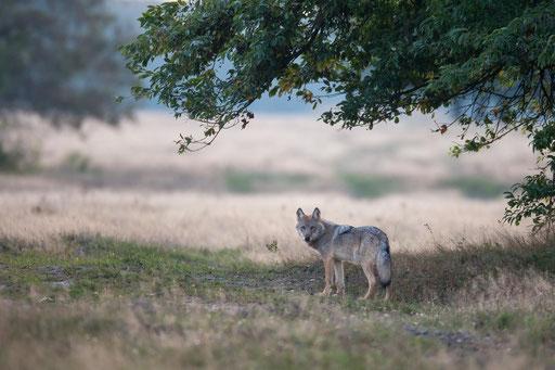 Wolf am frühen Morgen auf dem Truppenübungsplatz Munster Nord in der Lüneburger Heide, Foto: Jürgen Borris