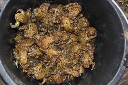 In Eimern werden die Kröten in Sicherheit gebracht. Foto: Silke Lorenz